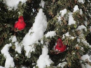 hiver et cardinal